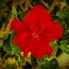 P3270010_red hibiscus