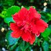 004_Red Hibiscus_2021-07-16