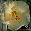 2016-12-12_PC120393_White Hibiscus,Clwtr,Fl