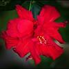 P4060003_red hibiscus