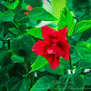 2018-12-19_PC190011_40x150 ap_ red hibiscus