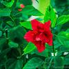 2018-12-19_PC190011_40x150 ap_ red hibiscus