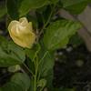 White hibiscus 2017-12-27-00321