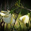 _002_ white hibiscus_20210226