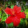 _002_red hibiscus_03222021