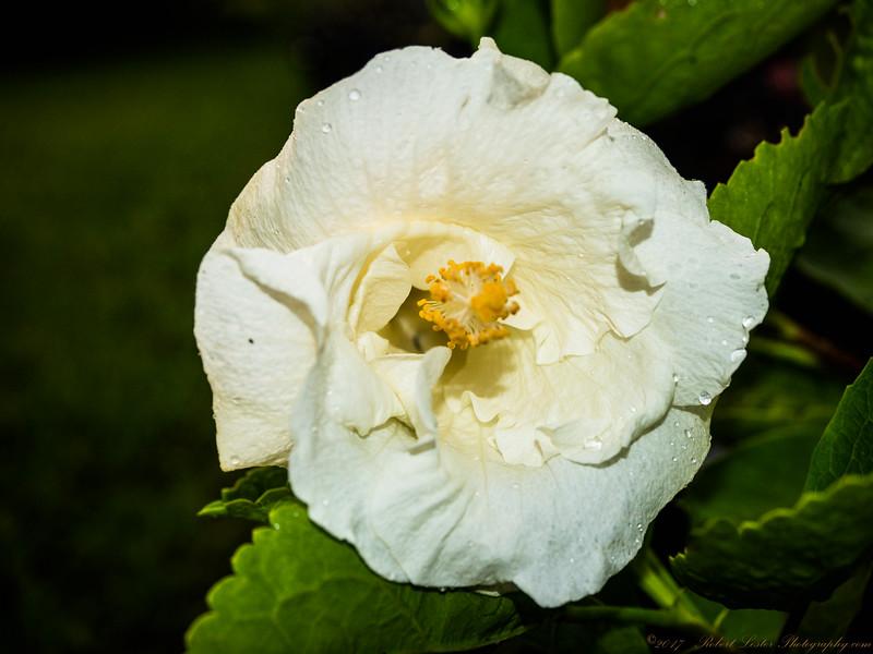2017-08-26_P8263051_white hibiscus,clwtr