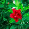 2018-12-19_PC190009_40x150 ap_ red hibiscus