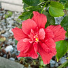 Red Hibiscus 3c all  2017-12-30-1290126