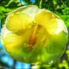 P6250007_White Hibiscus