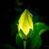 White Hibiscus-2017-11-09-097708
