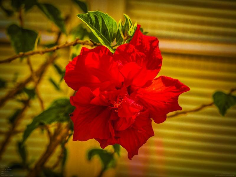 P3270007_red hibiscus