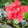 Red Hibiscus 3c all  2017-12-30-1290132