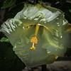 P4030012_  white hibiscus