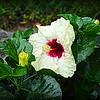2015-09-07_DSC02716_Hibiscus,Clearwater,Fl