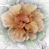 2016-03-20_P3202259_Artsie hibiscus,Clwtr,Fl