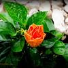 2015-09-07_DSC02707_Hibiscus,Clearwater,Fl