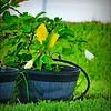 P1390813_white hibiscus