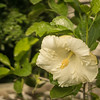 White Hibiscus, Clearwater,Fl  2017-12-27-00328