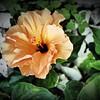 2016-03-20_P3202262_Artsie hibiscus,Clearwater,Fl