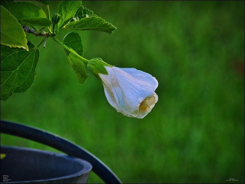 P9060010_white hibiscus