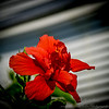 2019-02-08_ 100x300,ap,iso400,, red hibiscus,_P2080012