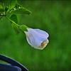 P9060011_white hibiscus