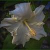 _C080002_white hibiscus