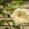 White Hibiscus, Clearwater,Fl  2017-12-27-00331