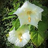 P3300001_White Hibiscus