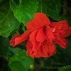 2019-09-22_m1 40x150iso200 red hibiscus__9220007