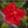 2017-04-27_P4270002_Red hibiscus,Clwtr,Fl