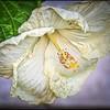 P4060011_white hibiscus