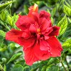 2019-10-04_1000 fzkap red hibiscus_P1380211_2_3crop