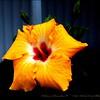 2015-01-14__1143127_Yellow Hibiscus