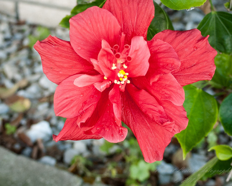 Red Hibiscus 3c all  2017-12-30-1290127