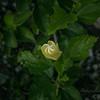 White hibiscus 2017-12-27-00305
