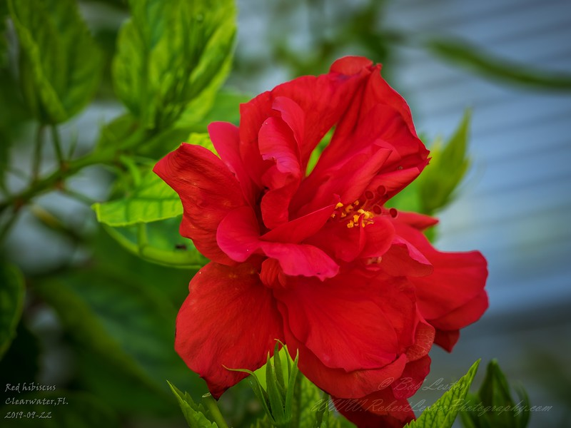 2019-09-22_m1 40x150iso200 red hibiscus__9220005
