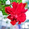 001_Red Hibiscus_2021-07-16