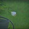 P9060002_white hibiscus
