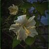 _C080003_white hibiscus