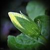P3290086_White Hibiscus bud