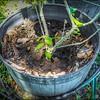P5020026_   White Hibiscus in pott