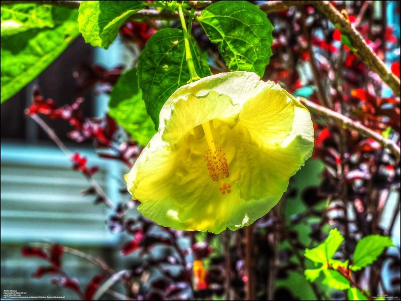 P6250006_White Hibiscus