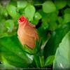 2016-03-15_P1000218_Orange Hibiscus,Clwtr,fl
