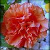 2016-03-15_P1000214_Orange Hibiscus,Clwtr,fl