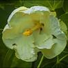 P5240092_white hibiscus
