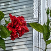 2019-10-05_fzkbrktvividvibrant ,red hibiscus_P1380296_7_8