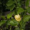 White hibiscus 2017-12-27-00320