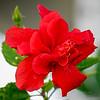 2019-02-19_m1,300,ap,iso500,BBmuti,  red hibiscus__2190015
