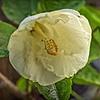 PA030015_white hibiscus